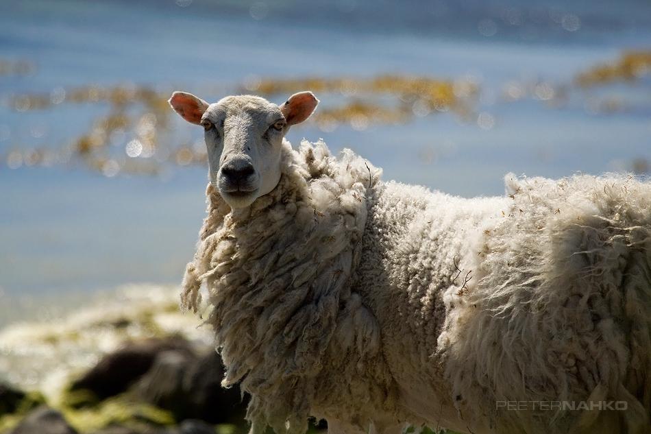 Metsik lammas