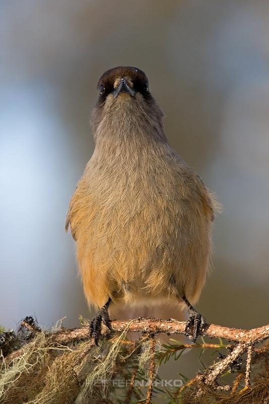 Linnuke oksal