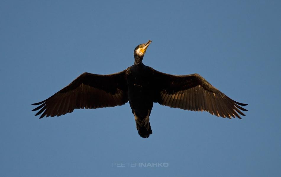 Must lind lendab