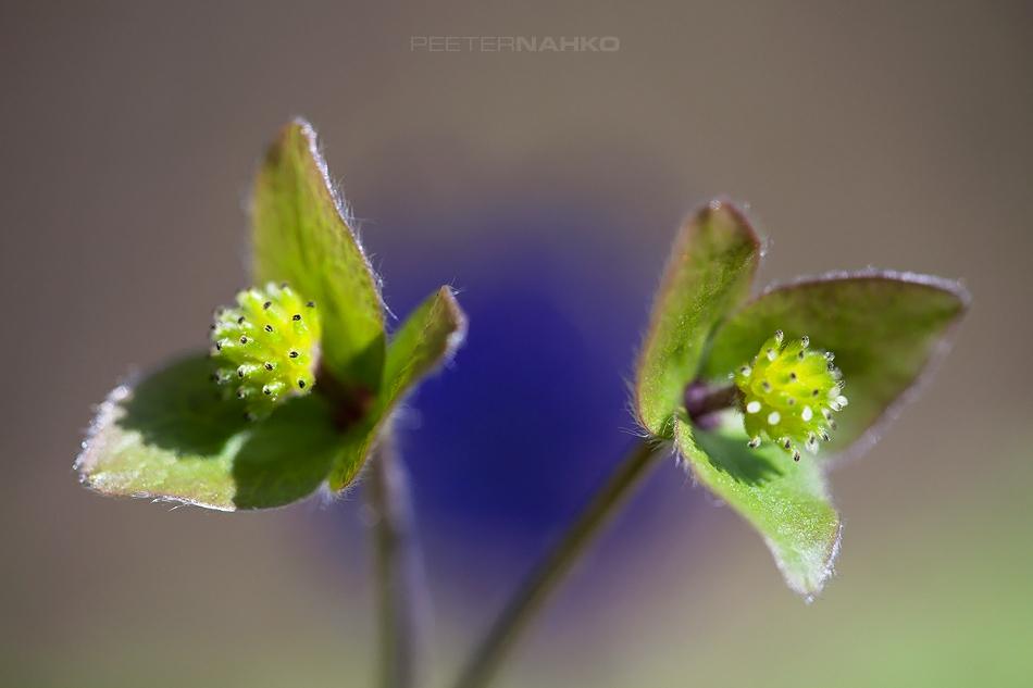 Lillelummus