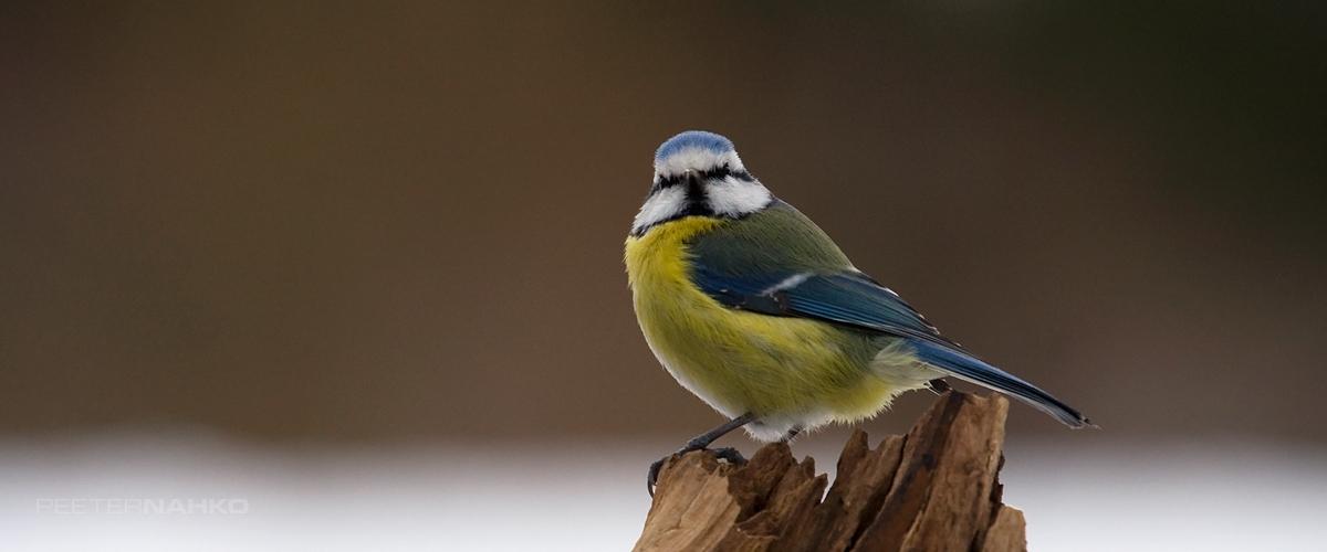 Terane linnuke