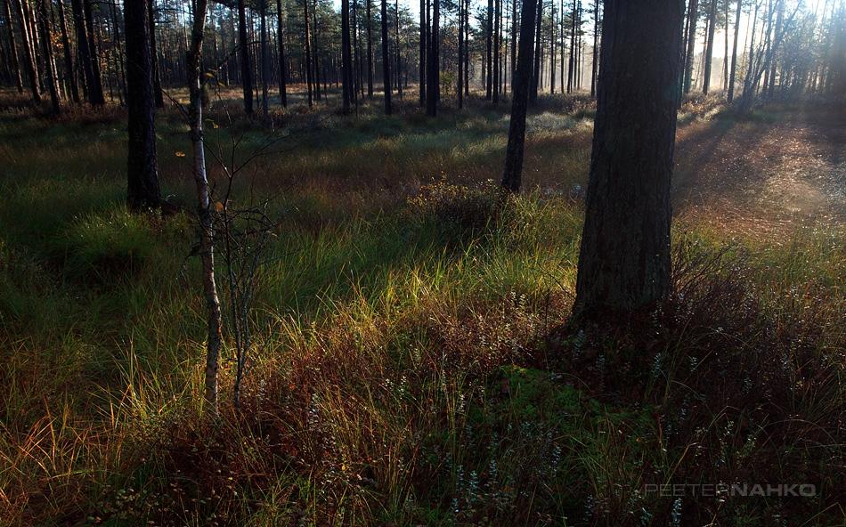 Hommik jõuab metsa