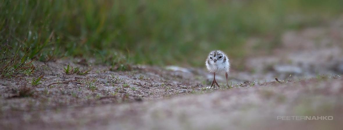 Väike vapper linnuke