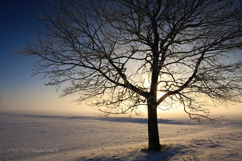 Külmapuu
